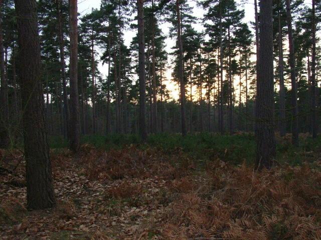 Pines in Swinley Park