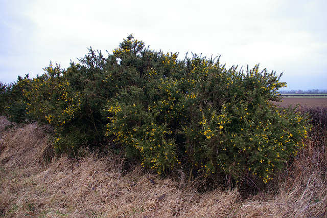 Gorse Hedge in Blossom