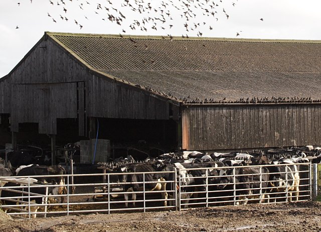 Starlings flocking around Cattle