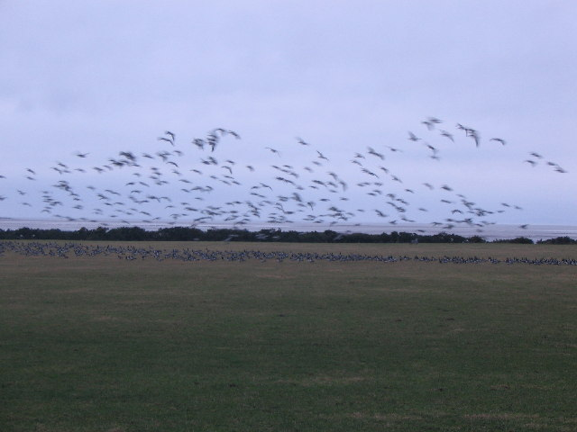 Barnacle Geese near Anthorn