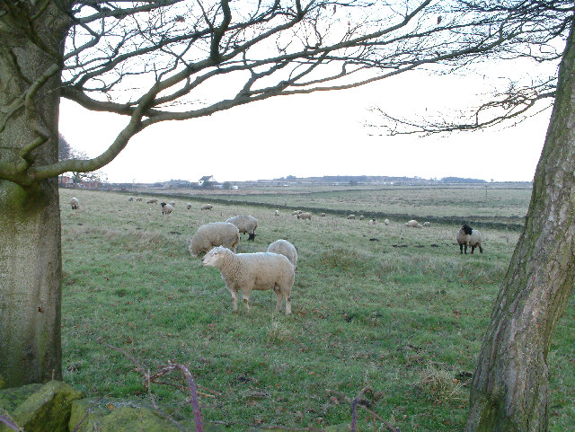 Sheep grazing on Beely Moor.
