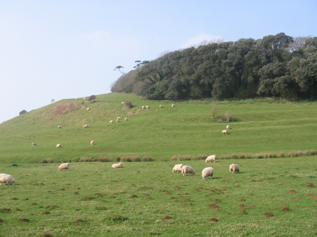 Sheep grazing, strip lynchets and Stavordale Wood, Abbotsbury