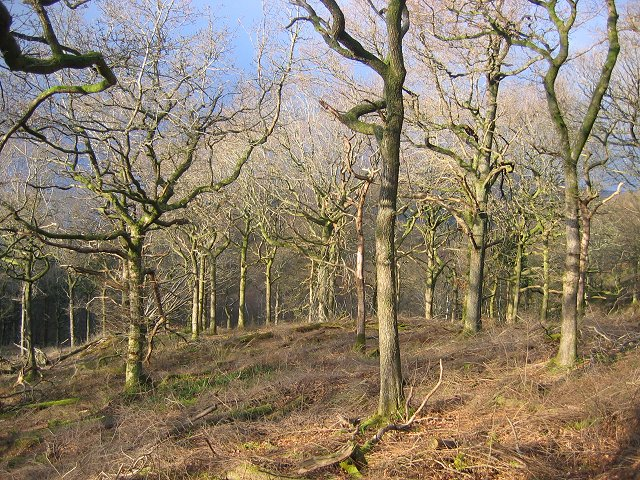 Restored woodland, Ross Wood.