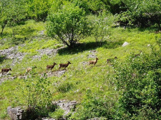 Soay Sheep in Cheddar Gorge