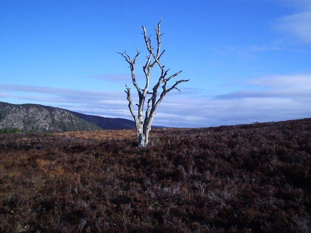 A very dead tree with Migdale Rock in the background