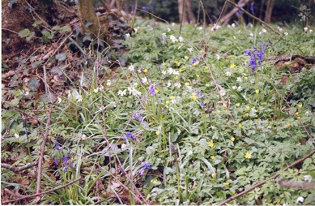 Spring flowers, Silkstead Lane