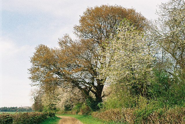 Spring trees, Shepherd's Lane