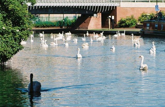 Swans below Park Way Bridge
