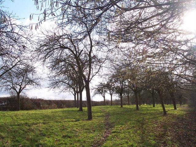 Daffodil Walk through Orchard near Allun's Farm