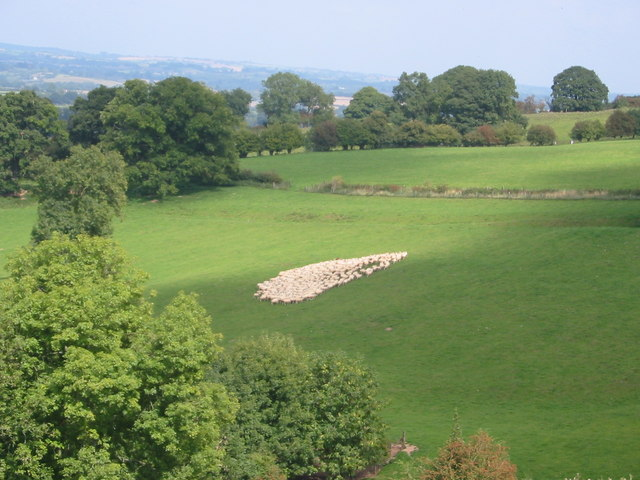 Gathering Sheep