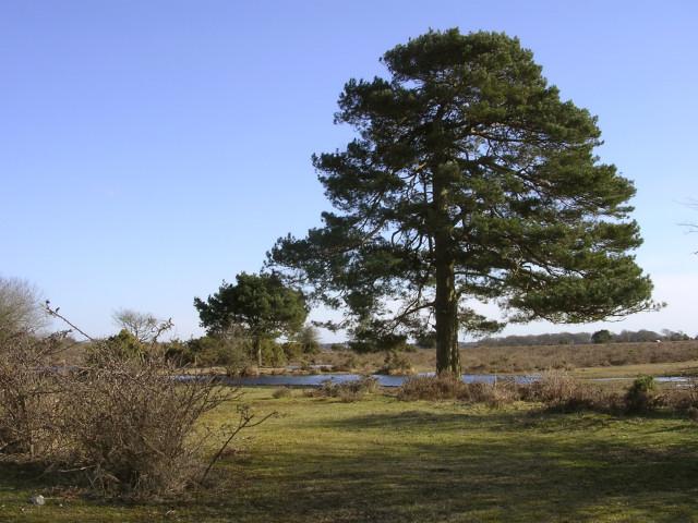 Scots pine near Ocknell Pond, New Forest
