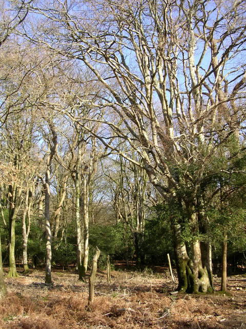 Beech trees in the Ocknell Inclosure, New Forest