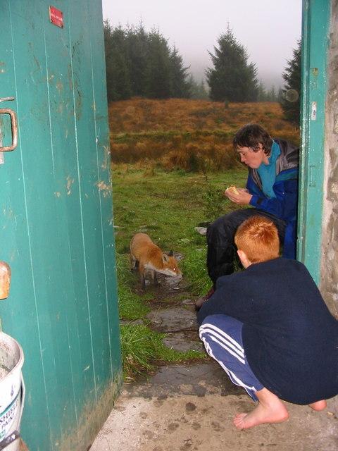 Moel Prysgau Bothy Fox