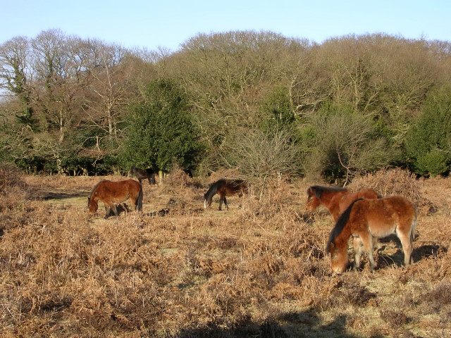 Ponies grazing on Ocknell Plain, New Forest