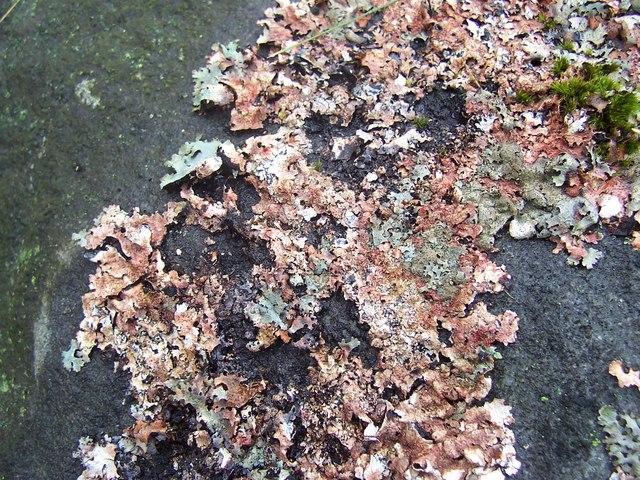 Lichen, Knots Well