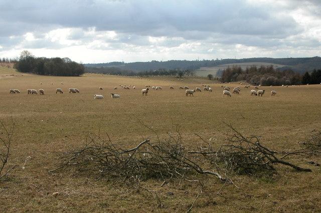 Sheep grazing near Colesbourne