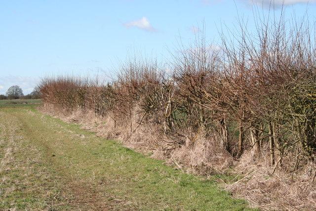 Hedgerow near Radley Little Wood
