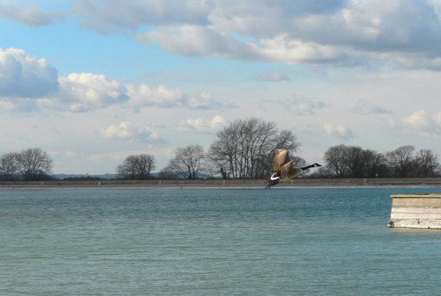Canada Goose over Wilstone Reservoir