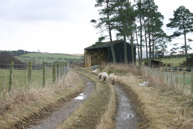 Sheep to Barn