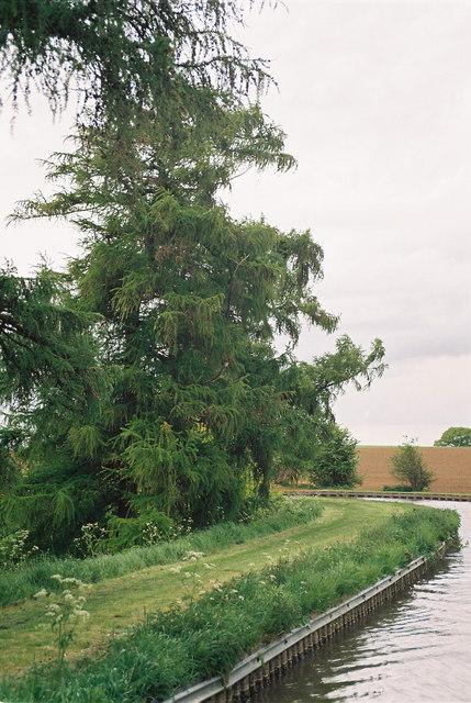Larches by Llangollen Canal near Hampton Bank