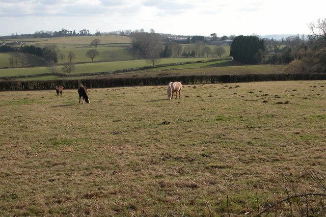 Ponies grazing near Llandinabo