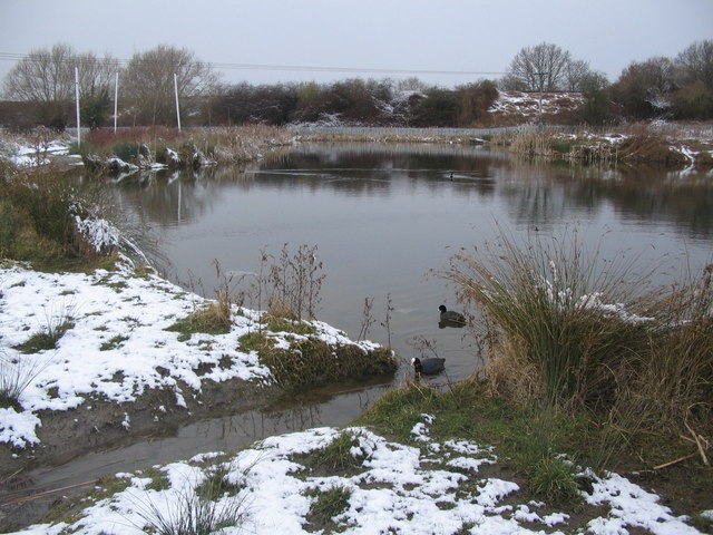 Coots on the Mead pond