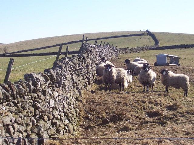 Sheep on Langerton Hill