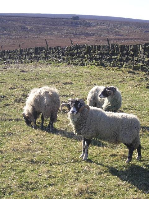 Sheep off Buckstone Lane