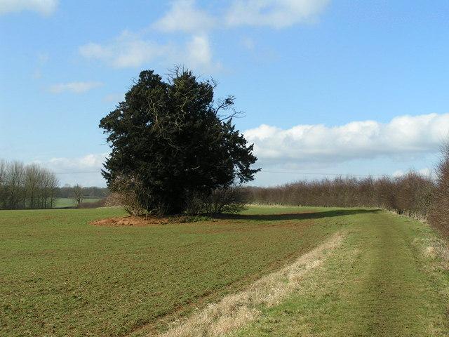 Yew tree, Harlestone