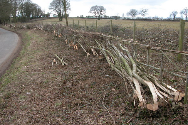 Hedge Laying near Withington