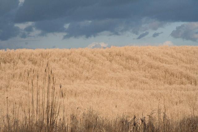 Uffculme: miscanthus crop