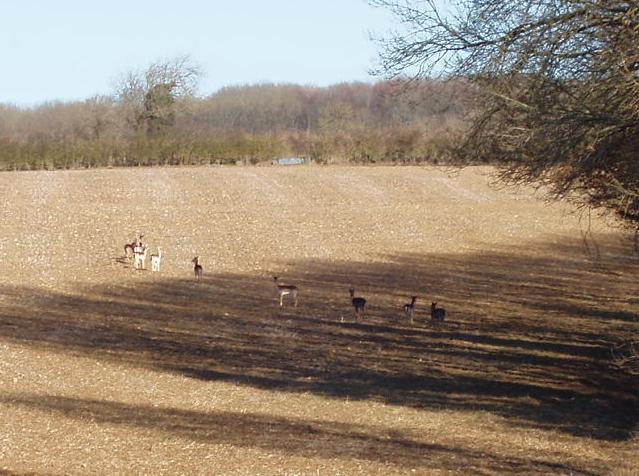 Deer on a ploughed field, Taynton