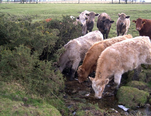 Cattle on the Blackheddon Burn