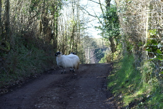 Sheep on a Track on Pardlestone Hill