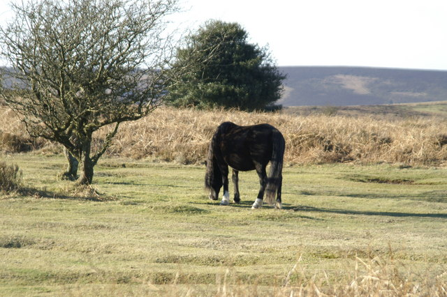 Pony on Quantock common
