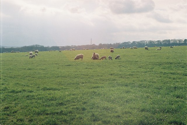 Sheep, Silkstead