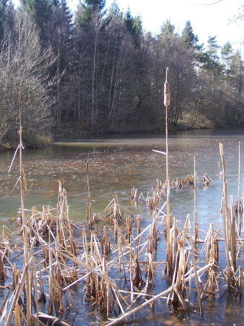 Dead Bullrushes and Frozen Lake, Dymock Forest