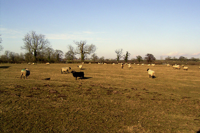 Sheep near Carlton, Leics