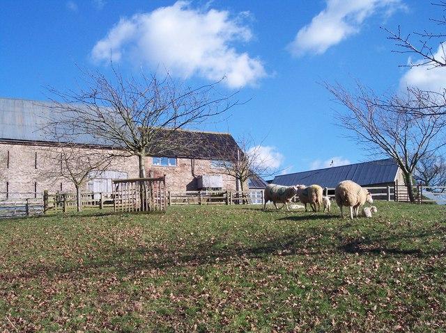New Born Lambs, Crossington Farm