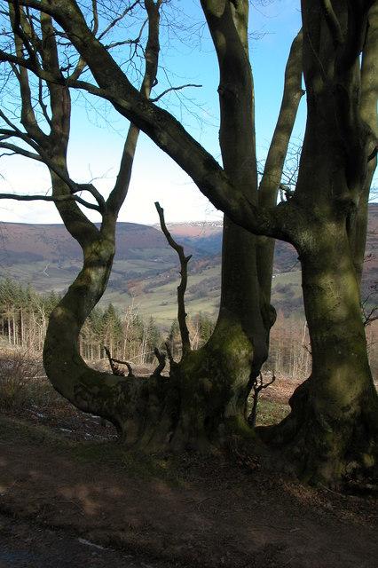 Tree near Pen-y-ffordd, Black Mountains