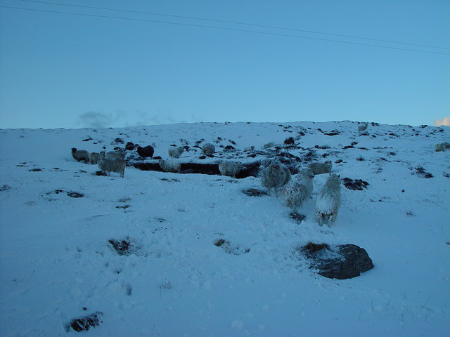 Sheep in Winter, Whalsay, Shetland