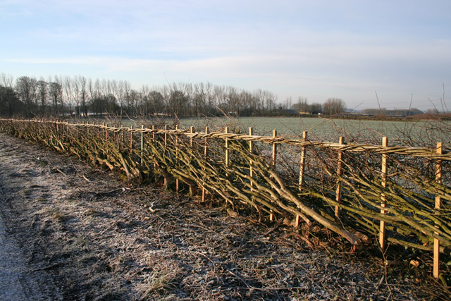 Newly laid hedge near Wartnaby