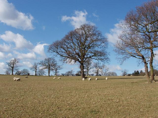 Sheep near Totteridge Common