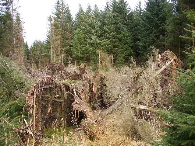 Fallen trees in Craigvinean Forest