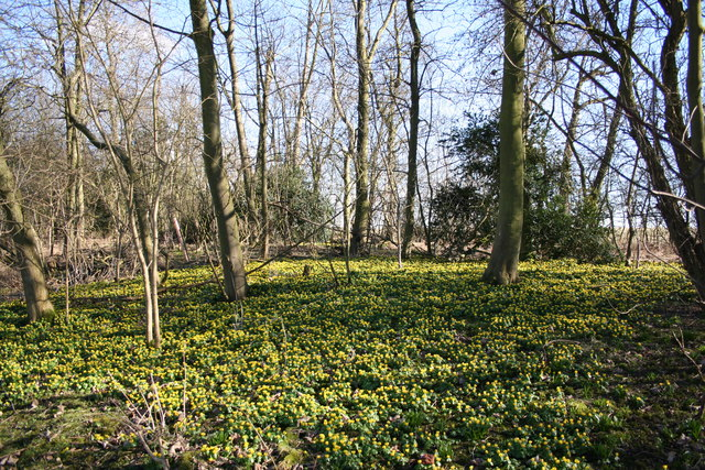 Aconites in The Laurels