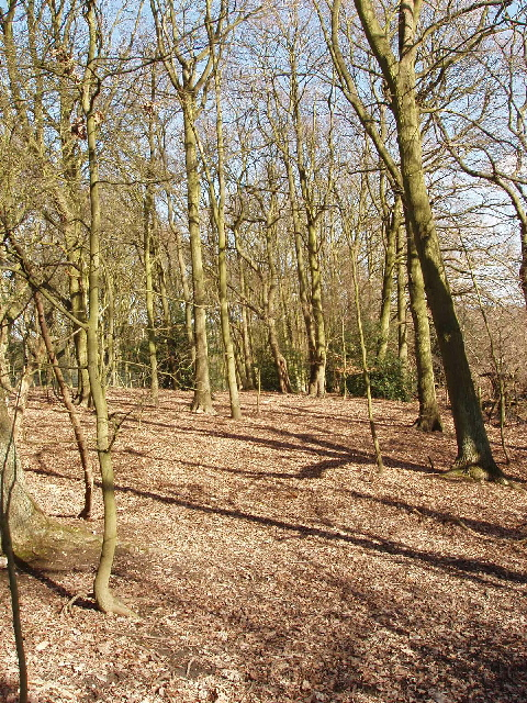 Oak wood, Mill Hill