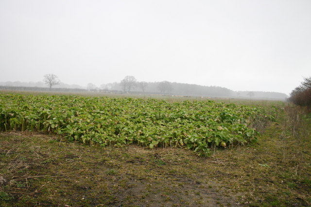 Crops in the Mist