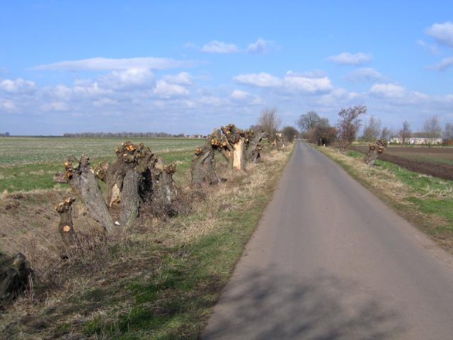 Pollarded willows, Willow Drove, Borough Fen, Peterborough