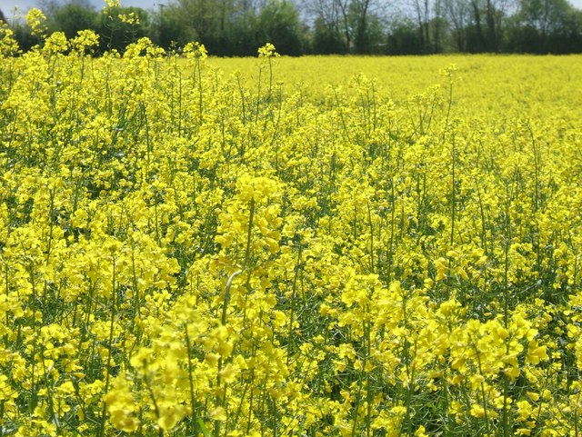 Rapeseed field in Wacton