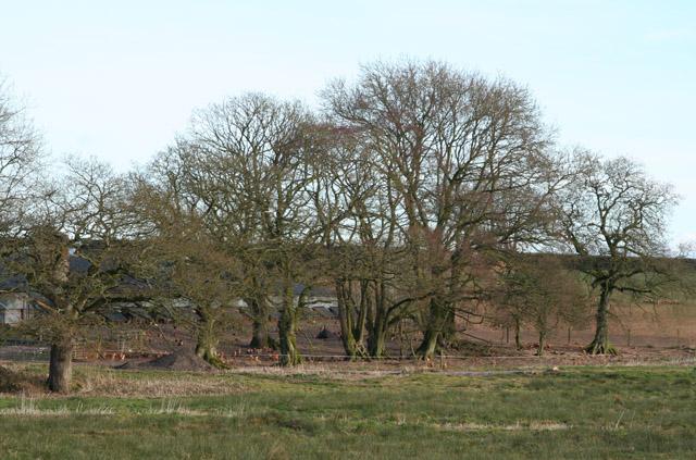 Broadhembury: free range hens near Crammer Barton